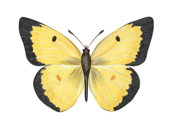 Common Sulphur Butterfly (Colias Philodice), Insects-Encyclopaedia Britannica-Art Print