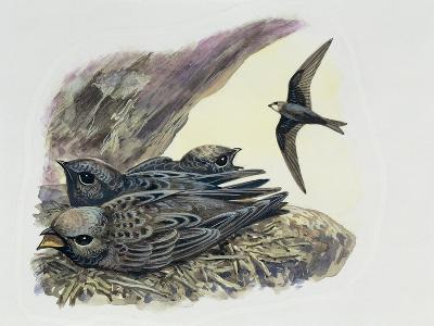 Common Swift Flying with Three Young Ones in a Nest (Apus Apus)--Giclee Print
