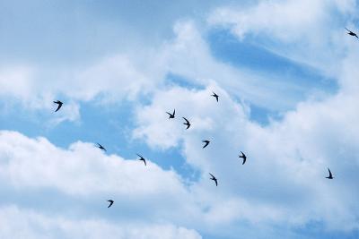 Common Swifts--Photographic Print