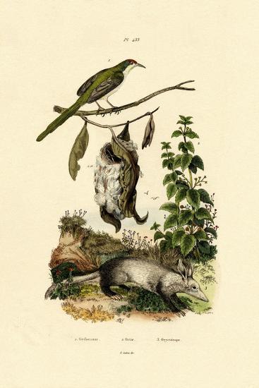 Common Tailorbird, 1833-39--Giclee Print