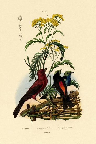 Common Tansy, 1833-39--Giclee Print
