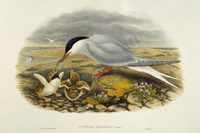 Common Tern (Sterna Hirundo)-John Gould-Giclee Print