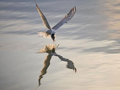 Common Tern Takes Fish at Sunset--Photographic Print