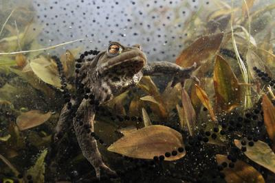 https://imgc.artprintimages.com/img/print/common-toad-bufo-bufo-in-a-pond-with-toad-spawn-and-frogspawn-coldharbour-surrey-uk_u-l-q10oamo0.jpg?p=0