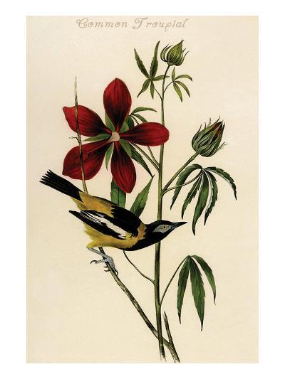 Common Troupial-John James Audubon-Art Print