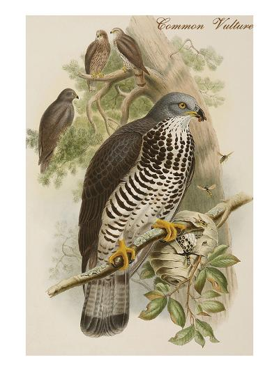 Common Vulture-John Gould-Art Print