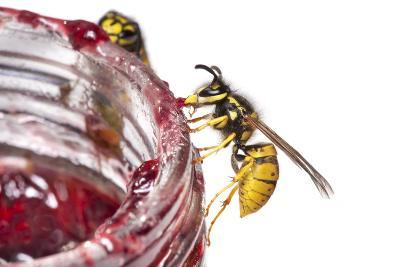 Common Wasps (Vespula Vulgaris) Feeding On A Pot Of Jam, Photographed Against A White Background-Alex Hyde-Photographic Print