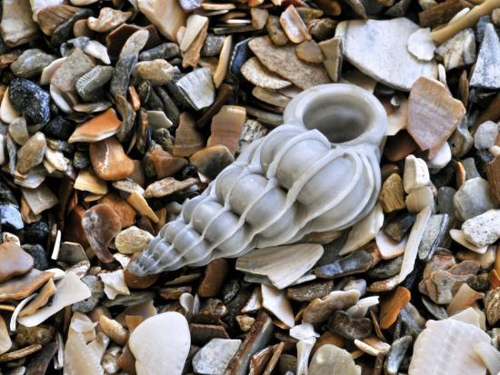 Common Wentletrap Shell on Beach, Belgium-Philippe Clement-Photographic Print