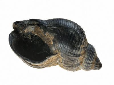Common Whelk from the North Sea, Shell Showing Aperture, Belgium-Philippe Clement-Photographic Print