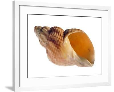 Common Whelk Shell Showing Aperture, Normandy, France-Philippe Clement-Framed Photographic Print