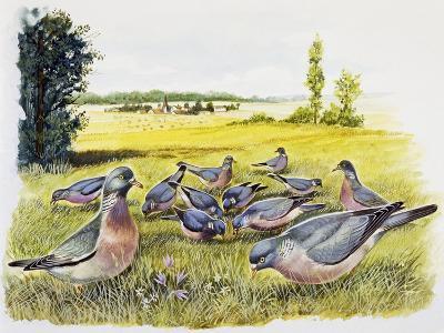 Common Wood Pigeons in Meadow (Columba Palumbus), Columbidae--Giclee Print
