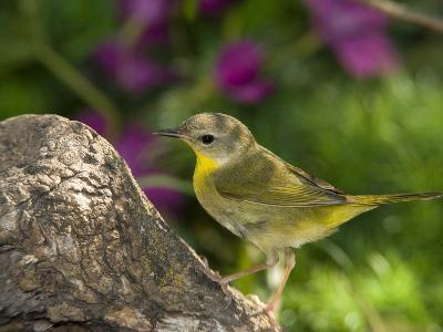 Common Yellowthroat (Geothlypis Trichas) Female Perched on a Log, Rio Grande Valley, Texas-Tom Vezo/Minden Pictures-Photographic Print