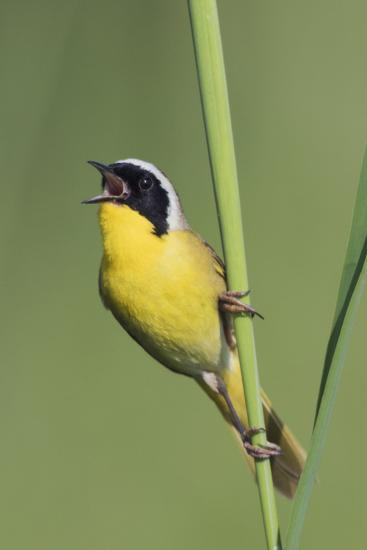 Common Yellowthroat Warbler Singing-Ken Archer-Premium Photographic Print