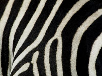 Common Zebra Close-Up Showing Stripes, Tanzania-Edwin Giesbers-Photographic Print