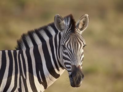 Common Zebra (Plains Zebra) (Burchell's Zebra) (Equus Burchelli)-James Hager-Photographic Print