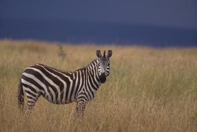 Common Zebra-DLILLC-Photographic Print