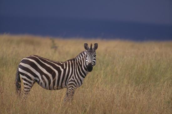Common Zebra-DLILLC-Photographic Print