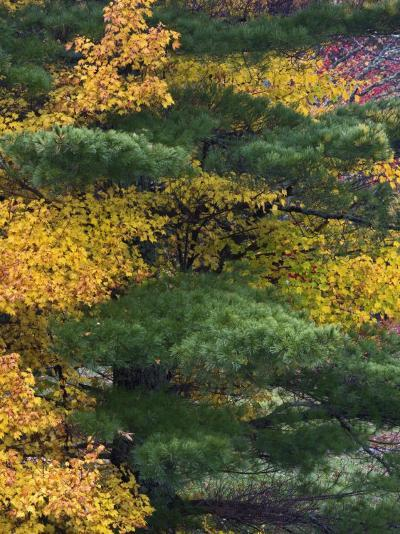 Comparison of Evergreen Conifer Needles with the Fall Leaves of Deciduous Trees, Eastern USA-Adam Jones-Photographic Print