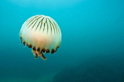 Compass Jellyfish (Chrysaora Hysoscella) Swimming over a Rocky Reef, Plymouth, Devon, UK, August-Alex Mustard-Photographic Print