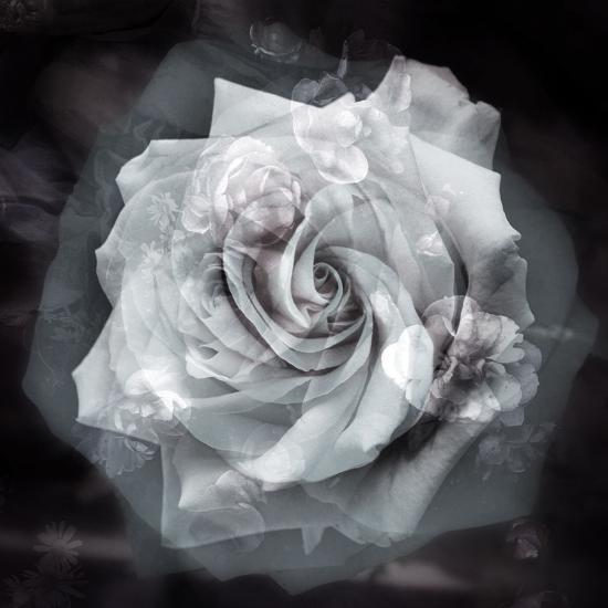 Composing of a White Rose Layered with Blossoms Infront of Black Background-Alaya Gadeh-Photographic Print