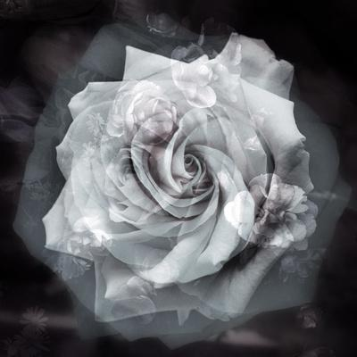 https://imgc.artprintimages.com/img/print/composing-of-a-white-rose-layered-with-blossoms-infront-of-black-background_u-l-q11zajb0.jpg?p=0