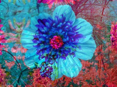 Composing with Blue Flowers-Alaya Gadeh-Photographic Print