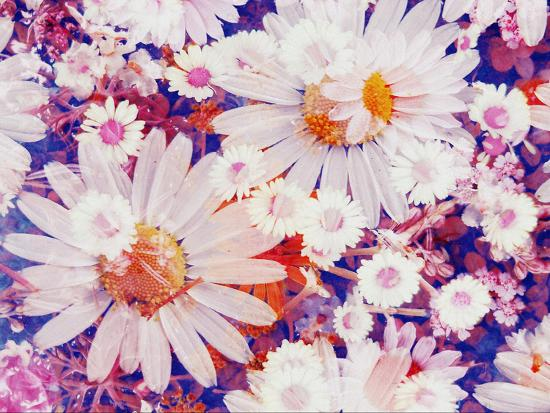 Composing with Marguerites and Daisies-Alaya Gadeh-Photographic Print