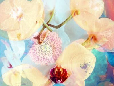 Composing with White and Pink Blossoms Infront of Blue Background-Alaya Gadeh-Photographic Print