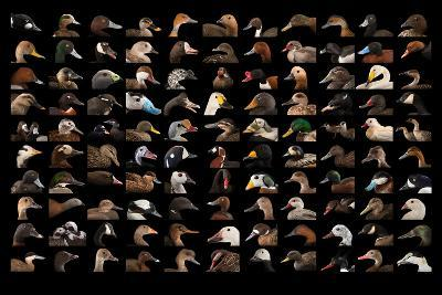 Composite of 110 Different Species of Ducks and Geese-Joel Sartore-Photographic Print