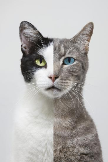 Composite Portrait of Two Different Cats-John Lund-Photographic Print