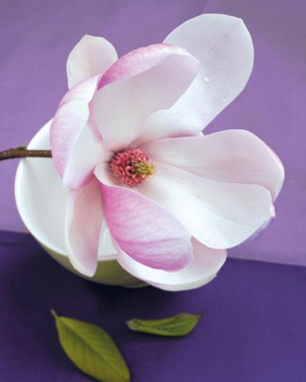 Composition Zen Fleur De Magnolia Art Print By Beyler Art Com