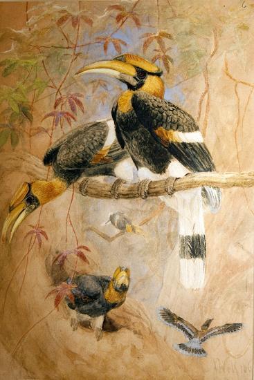 Concave-Casqued Hornbill (Dichoceros Bicornis), 1856-67-Joseph Wolf-Giclee Print