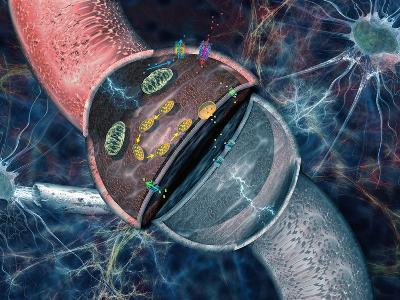 Concept of Electrical and Chemical Activity in Neurons Electrical Impulses-Carol & Mike Werner-Photographic Print