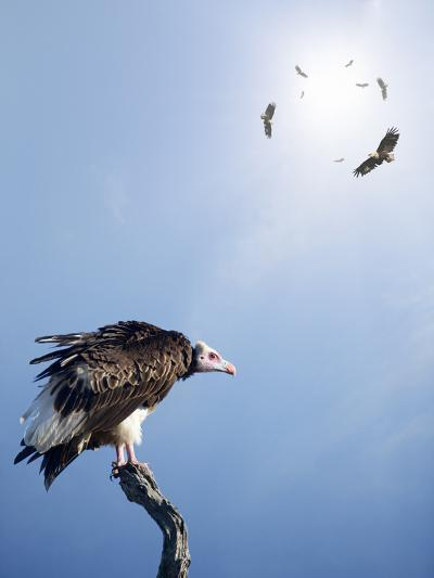 Conceptual - Vultures Waiting to Prey on Innocent Victims (Digital Composite)-Johan Swanepoel-Photographic Print