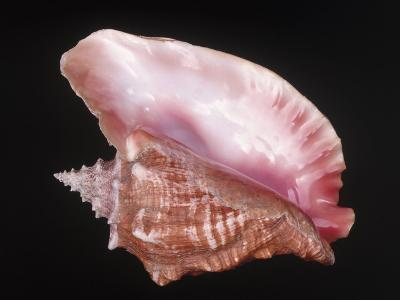 Conch Shell-Bill Keefrey-Photographic Print