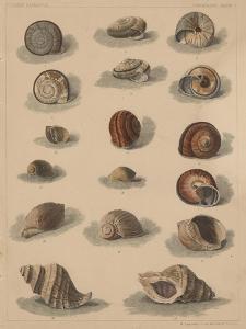 Conchology Plate V, 1855