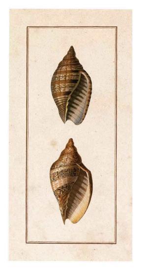 Conchology, Voluta II-W. Miller-Art Print