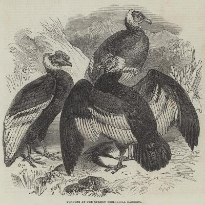 Condors at the Surrey Zoological Gardens--Giclee Print