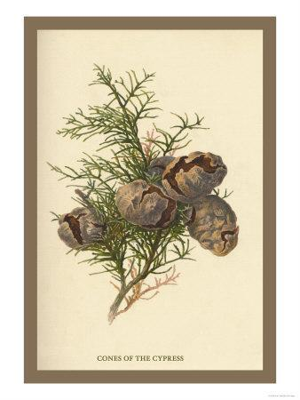 https://imgc.artprintimages.com/img/print/cones-of-the-cypress_u-l-p27vr70.jpg?p=0