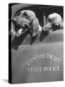 Connecticut State Police Bloodhound Dogs Looking Out Truck Window