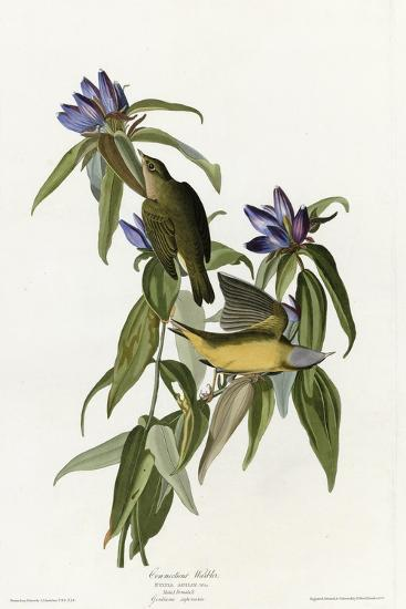 Connecticut Warbler--Giclee Print