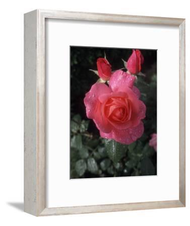 English Rose in Butchart Gardens, Vancouver Island, British Columbia, Canada
