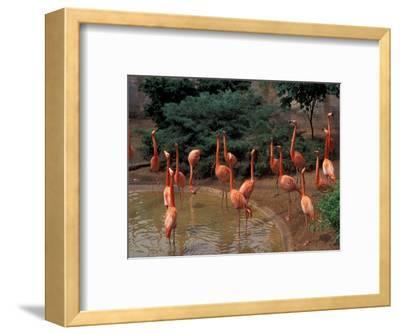 Flamingos at Forest Park, St. Louis Zoo, St. Louis, Missouri, USA