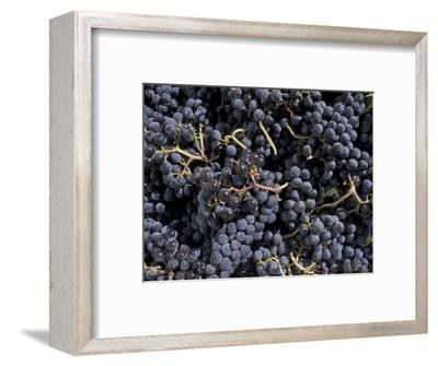 Merlot Grapes Ready to Crush, Terra Blanca Winery, Benton City, Washington, USA