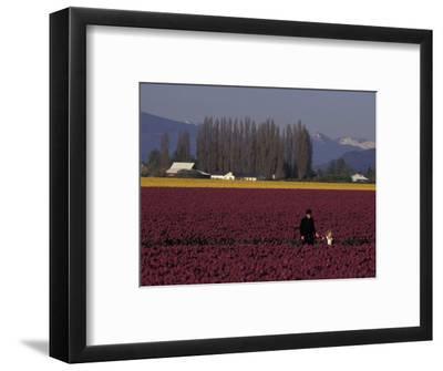Skagit Valley Tulip Festival in April, Washington, USA