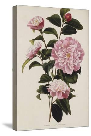 Camellia.  from 'The Botanical Cabinet, Consisting of Coloured Delineations of Plants from All…