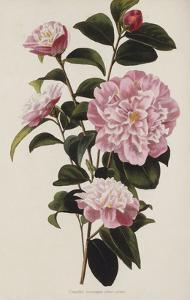 Camellia.  from 'The Botanical Cabinet, Consisting of Coloured Delineations of Plants from All… by Conrad Loddiges