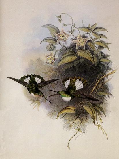 Conrad's Inca, Bourcieria Conradi-John Gould-Giclee Print