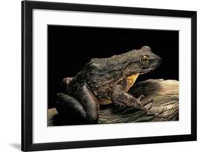 Conraua Goliath (Giant Frog)-Paul Starosta-Framed Photographic Print