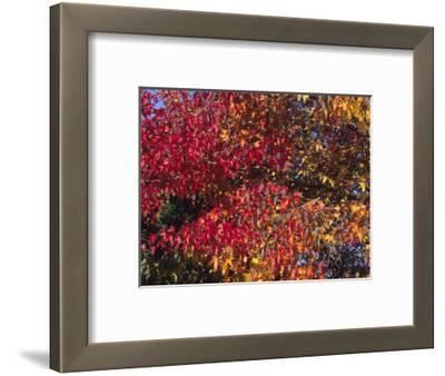 Autumn Foliage of the Sweetgum or Redgum (Liquidambar Styraciflua)